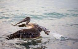 Het bruine pelikaan opstijgen Stock Fotografie