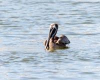 Het bruine Pelikaan zwemmen royalty-vrije stock fotografie