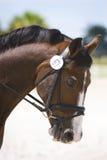 Het bruine portret van het dressuurpaard Royalty-vrije Stock Afbeeldingen
