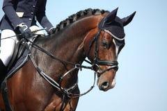Het bruine portret van het sportpaard tijdens toont Stock Foto