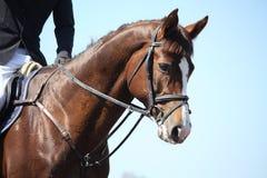 Het bruine portret van het sportpaard tijdens toont Stock Fotografie