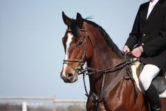 Het bruine portret van het sportpaard tijdens toont Stock Afbeelding