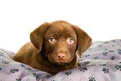Het bruine puppy van chocoladelabrador op een grijs hoofdkussen Royalty-vrije Stock Foto
