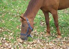 Het bruine volwassen paard eet grasclose-up Royalty-vrije Stock Foto's