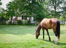 Het bruine Weiden van het Paard Stock Afbeelding
