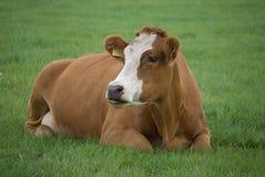 Het Bruine Witte Leggen van de koe stock fotografie