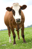 Het Bruine Witte Vallen van de koe royalty-vrije stock foto's