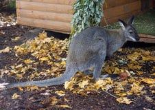 Het buidel dierlijke symbool van kangoeroeaustralië van Wallaby herbivoor spierbenen Stock Foto's