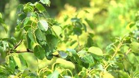 Het buigen van natte boomtakken na zware regen De zonnige video van de weer4k telelens stock footage