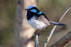 Het buitengewone blauwe mannetje van het feewinterkoninkje stock afbeelding