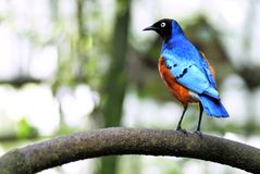 Het buitengewone starling op tak Royalty-vrije Stock Afbeeldingen