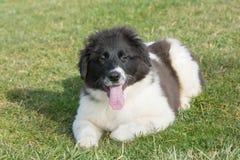 Het Bulgaarse puppy van HerdersKarakachan is in het park royalty-vrije stock foto's