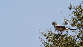 Het Butcherbirdgebruik de stekels als slager gebruikt zijn haak om zijn prooi te houden aangezien het Met kuikens aan voer, gebru stock foto