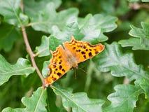 Het c-album Nymphalidae van Polygonia van de kommavlinder Stock Foto