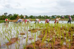 Het Cambodjaanse werk van rijstlandbouwers op de gebieden Royalty-vrije Stock Afbeeldingen
