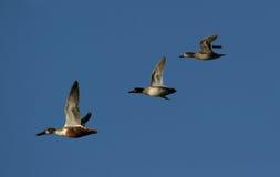 Het Canadese ganzen migreren stock fotografie