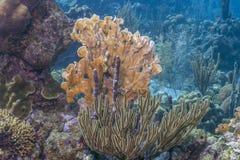 Het Caraïbische koraal van de koraalrifbrand Stock Foto's