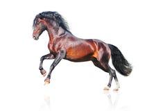 Het $ce-andalusisch geïsoleerdet paard van de baai Royalty-vrije Stock Afbeeldingen
