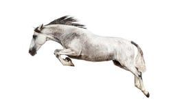 Het $ce-andalusisch paard springen Stock Foto