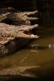Het centrum van de de krokodilpool van de Chongqingskrokodil Stock Afbeeldingen