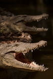 Het centrum van de de krokodilpool van de Chongqingskrokodil Royalty-vrije Stock Foto's