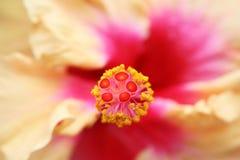 Het centrum van de hibiscus Royalty-vrije Stock Fotografie