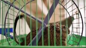 Het Chileense eekhoorn spinnen in het wiel in zijn kooi stock video