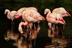 Het Chileense Flamingo's Voeden Stock Afbeeldingen