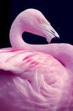 Het Chileense Natuurlijke S Profiel van Flammingo Stock Fotografie