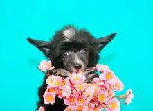 Het Chinese Kuiflevensonderhoud een Sakura-boeket Het leuke, zwarte close-up van het puppyportret Stock Fotografie
