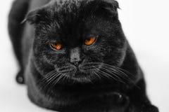 Het close-up beledigde ernstige zwarte Kat met Gele Ogen in Dark FA Royalty-vrije Stock Afbeeldingen