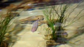 Het close-up, door het duidelijke water kan gezien kleurrijke vissen, groene algen zijn de oppervlakte van de watergolven stock videobeelden