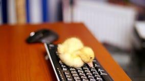 Het close-up, een klein geel eendje zit vreedzaam op het computertoetsenbord Gangen op het en een Desktop in stock videobeelden