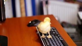 Het close-up, een klein geel eendje zit vreedzaam op het computertoetsenbord Gangen op het en een Desktop in stock video