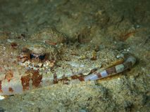Het close-up en de macro geschotene krokodil vissen, de schoonheid van onderwaterwereld duikend in Sabah, Borneo stock foto