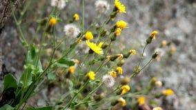 Het close-up, gele berg bloeit, St John ` s wort, in de Alpiene bergen, op een de zomerdag stock footage