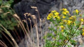 Het close-up, gele berg bloeit, St John ` s wort, in de Alpiene bergen, op een de zomerdag stock videobeelden