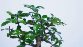 Het close-up, groene de bonsaiboom van A roteert op de wijzerplaat van een grote klok Een idee voor een thema over tijd en aard stock videobeelden