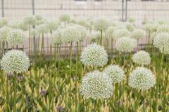 Het close-up met het perspectief op decoratieve ui bloeit het bloeien in een bed van de de zomerbloem in Moskou Russisch tentoons royalty-vrije stock afbeelding