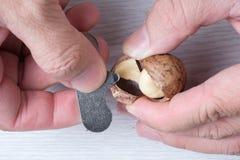 Het close-up overhandigt openingsmacadamia's shell Royalty-vrije Stock Fotografie