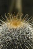 Het close-up van cactusstekels op een donkere achtergrond stock afbeelding