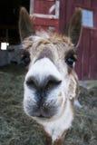 Het close-up van de alpacaneus Royalty-vrije Stock Afbeeldingen