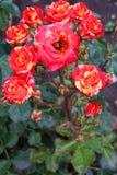 Het close-up van de bloeiwijzen van bont Kaukasisch nam met r toe stock foto's