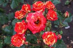 Het close-up van de bloeiwijzen van bont Kaukasisch nam met r toe royalty-vrije stock foto's