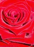 Het close-up van de bloemblaadjes van een rood nam toe Royalty-vrije Stock Foto's