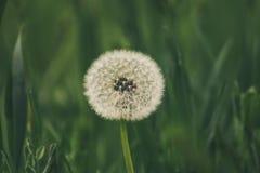 Het close-up van de Blowballpaardebloem royalty-vrije stock afbeeldingen