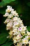 Het close-up van de boom van hippocastanumconker van Paardekastanjeaesculus bloeit op een groene onscherpe achtergrond Royalty-vrije Stock Afbeelding