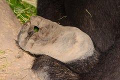 Het close-up van de de gorillavoet van het Silverbacklaagland Royalty-vrije Stock Foto's
