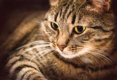 Het close-up van de gestreepte katkat op een zwarte achtergrond Stock Foto