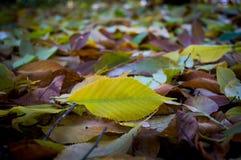 Het close-up van de herfstbladeren als achtergrond Zuiver groen blad op een achtergrond van gevallen gele bladeren royalty-vrije stock afbeelding